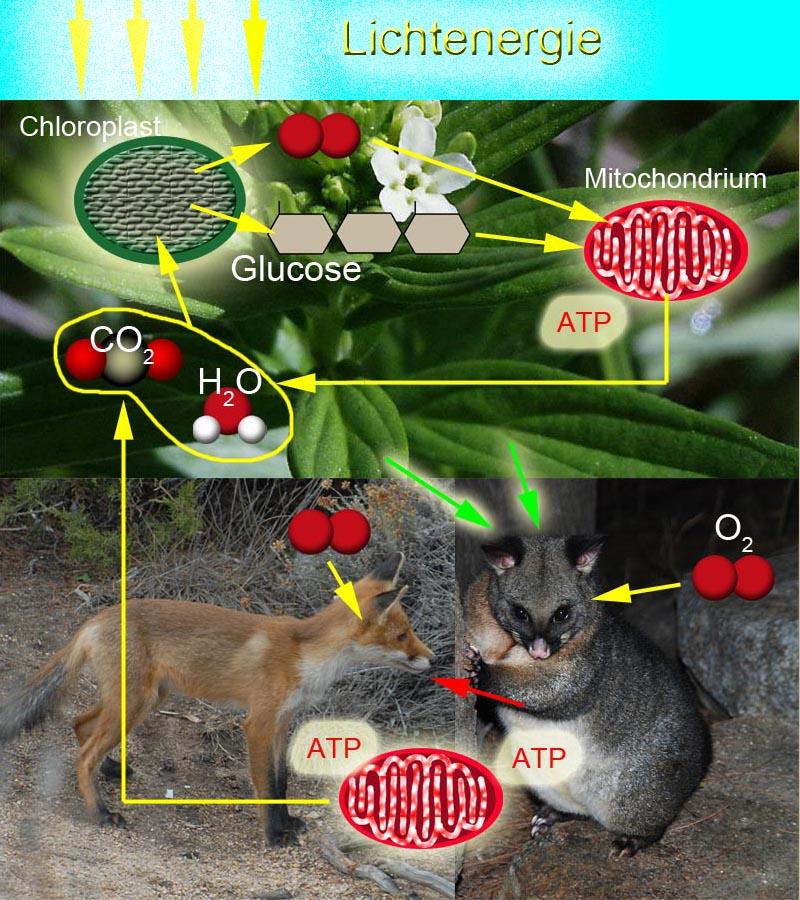 heterotrophe organismen