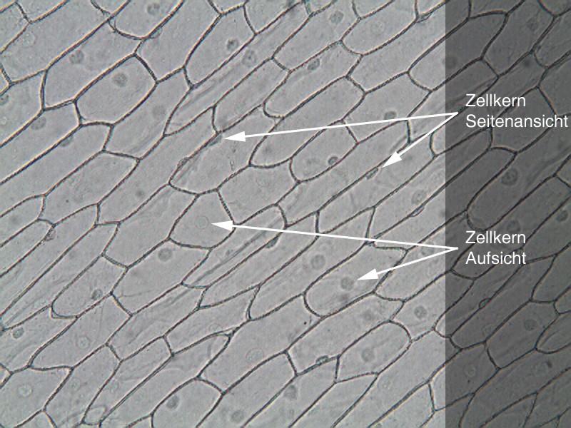 Arbeitsblatt Zellen Der Zwiebelhaut : Epidermis zwiebel