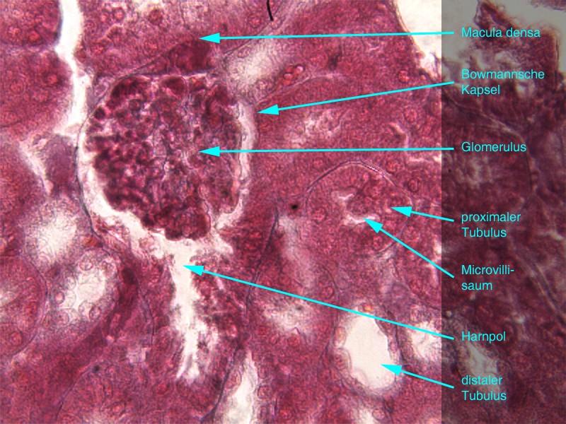 Gemütlich Makroskopische Anatomie Der Niere Fotos - Menschliche ...