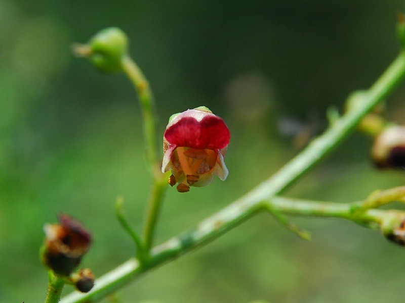 scrophularia heterophylla ssp laciniata